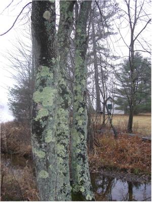 Silver Lichen Photo